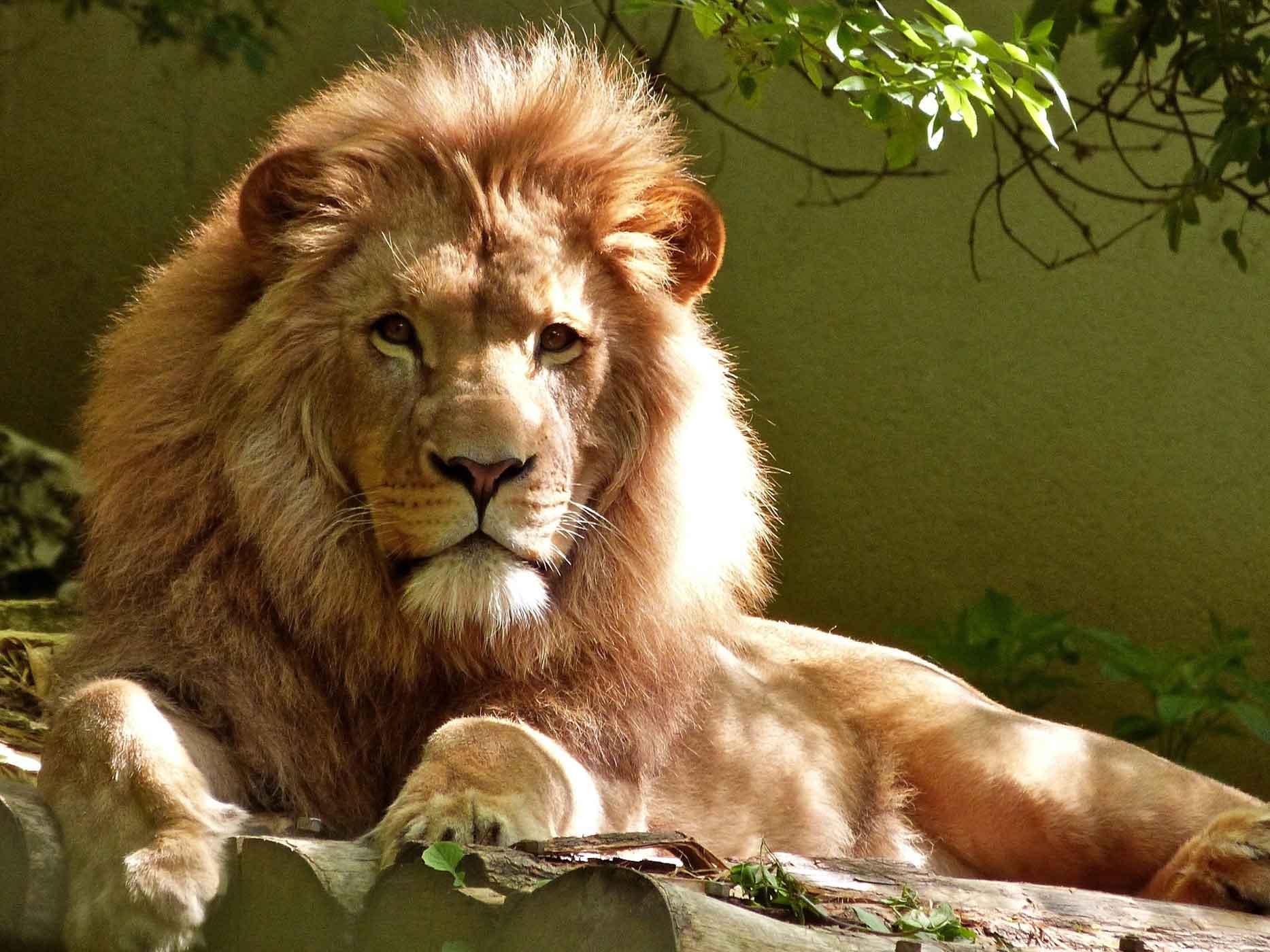 Ein liegender Löwe im Zoo