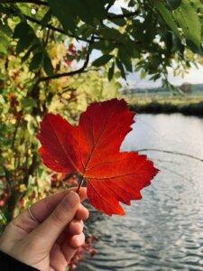 Rotes Ahornblatt wird vor dem Fluss Innerste gehalten